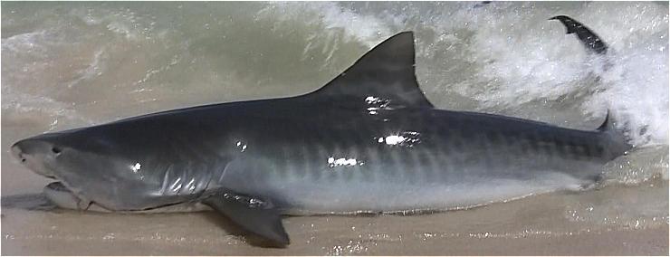 Escrito La Pesca del Tiburón con Carnadas por José Manuel López Pinto / Actualizado al 20 de Octubre del 2011 Tiger-shark