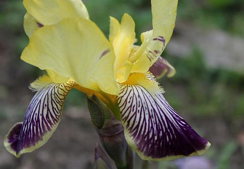 Floraison de nos iris barbus saison 2014 - Page 4 33121687.d242fc73.500