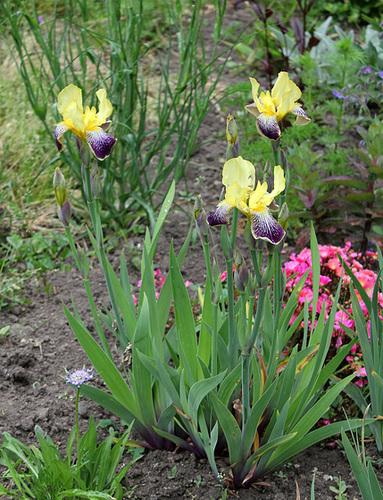 Floraison de nos iris barbus saison 2014 - Page 4 33121689.fd21bf16.500