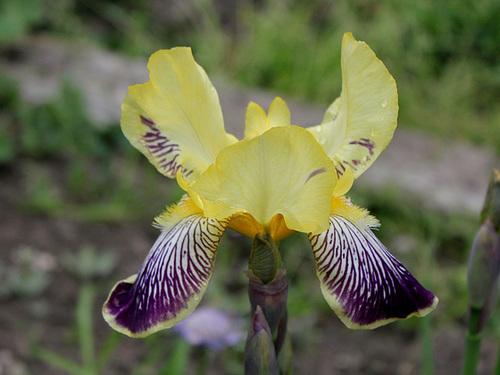 Floraison de nos iris barbus saison 2014 - Page 4 33121695.80e00e15.500