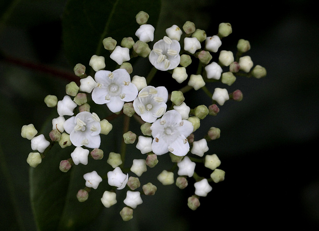 Viburnum tinus - viorne tin, laurier tin 9341040.62123e56.640