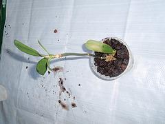 orchidées : questions, problèmes et conseils de culture 9940084.0207d84e.240