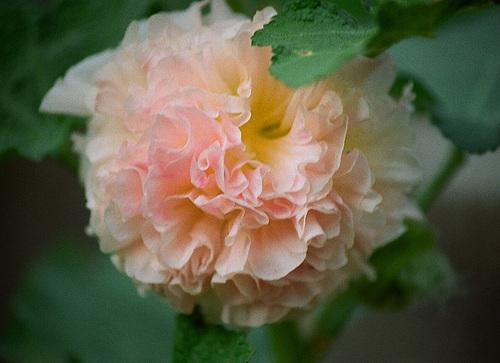 Alcea rosea - rose trémière 9510121.d0bdf0be.500