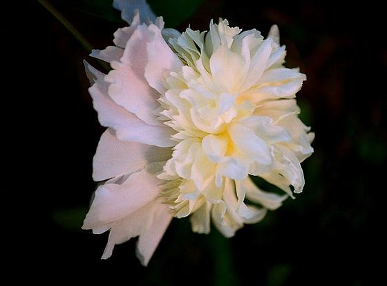 Paeonia - pivoines herbacées 9510258.e68e11bc.560