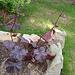 Geranium phaeum et cultivars 9900465.14f57dfd.75x
