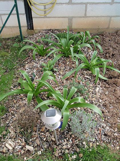 Allium - quelques espèces & variérés 9980601.96936b5c.560