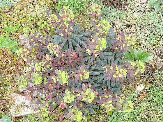 euphorbe amygdaloide purpurea P4150146