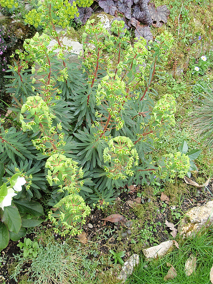 euphorbe martinii P4150145