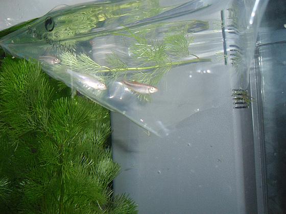 un petit poisson, deux petits poissons s'aimaient d'amour tendre... 10020652.93a22178.560