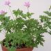 Geranium : espèces et variétés 9890680.32927733.75x