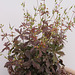 Geranium : espèces et variétés 9890706.ec93390b.75x