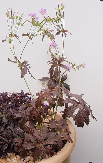 Géranium maculatum 'expresso' P6010255-2