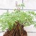 Geranium : espèces et variétés 9890724.d89216df.75x