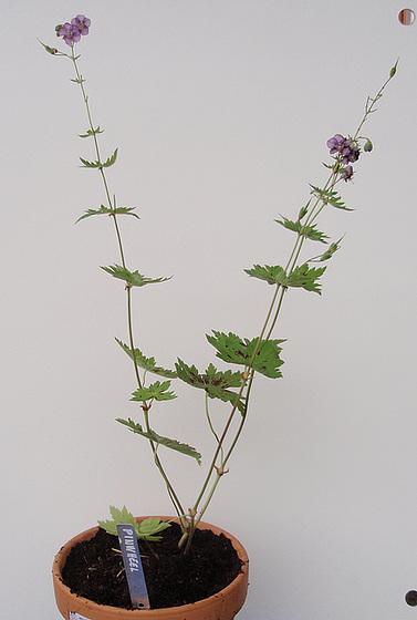 Geranium phaeum et cultivars 9890841.f934b516.560