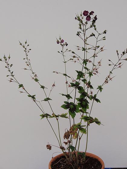 Geranium phaeum et cultivars 9890863.46cf50ff.560
