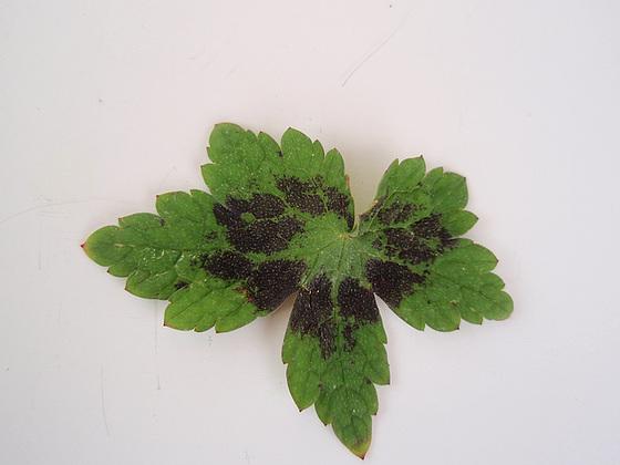 Geranium phaeum et cultivars 9890864.f8dd8888.560