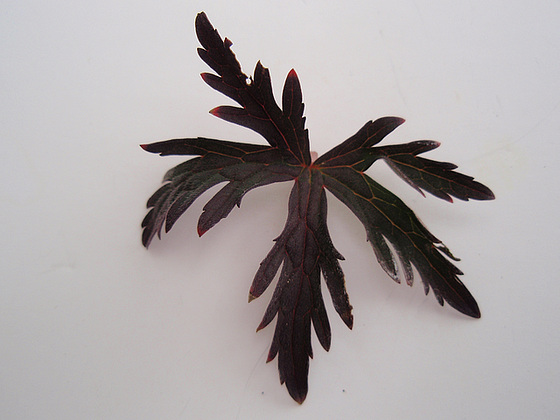 Geranium pratense 9890895.5b1470f7.560