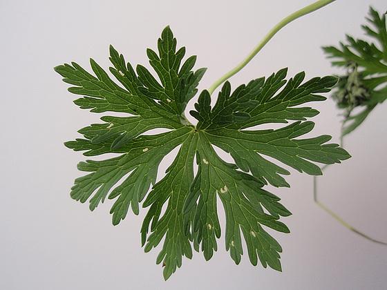 Geranium pratense 9890914.c08bd1d5.560