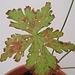 Geranium : espèces et variétés 9890929.8aec54f1.75x
