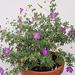 Geranium : espèces et variétés 9890959.68c3e408.75x
