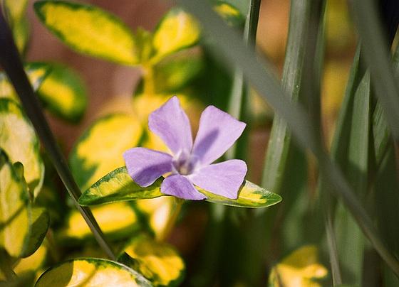 Quelques plantes d'ombre ou mi-ombre 9851173.b3418791.560