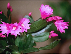 Rhipsalidopsis hybride