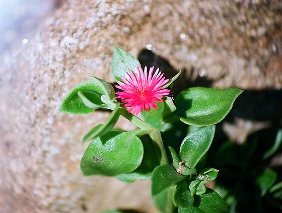 Mesembryanthemum cordifolium (= Aptenia cordifolia) 9761282.2c45e0f9.560