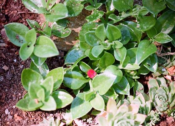 Mesembryanthemum cordifolium (= Aptenia cordifolia) 9761283.fc07ebed.560