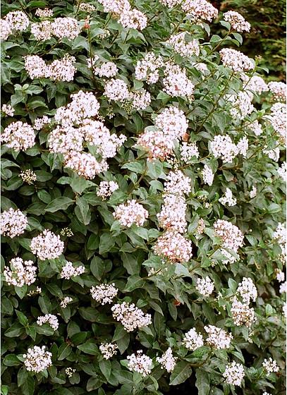 Viburnum tinus - viorne tin, laurier tin 9961429.4496a41f.560