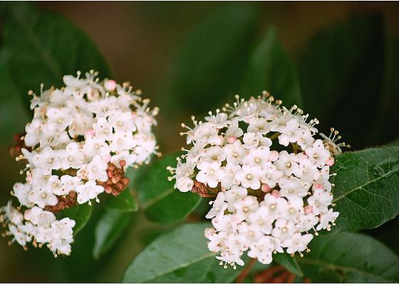 Viburnum tinus - viorne tin, laurier tin 9961430.ba9589c0.560
