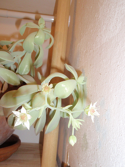 graptopetalum paraguyense PC180236
