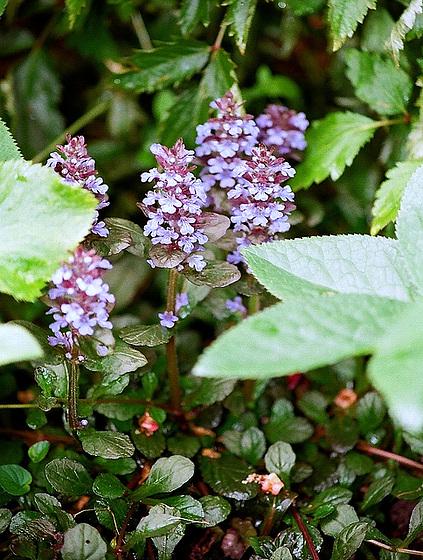 Quelques plantes d'ombre ou mi-ombre 9851674.8a07ca41.560