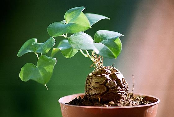 Dioscorea elephantipes (= Testudinaria elephantipes) 9501723.75303488.560