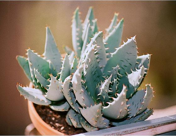 Aloe - identifications [verrouillé] 9501872.930bbad1.560