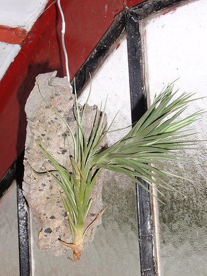 tillandsia aeranthos PC120277