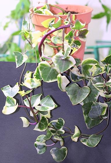 Senecio macroglossum variegata 10023794.e295417c.560