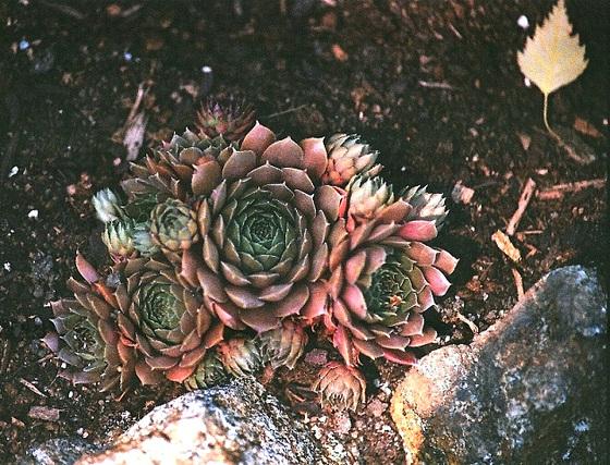 succulentes pour rocaille 9744208.8d486e15.560
