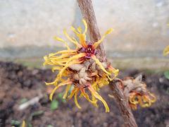 Hamamelis intermedia 'Orange Beauty' 9894453.8bd34d2c.240