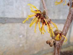 Hamamelis intermedia 'Orange Beauty' 9894455.d4530cd0.240