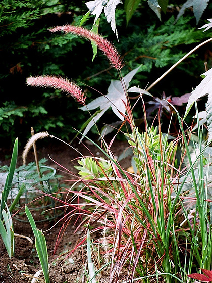 Poaceae (graminées) - Cyperaceae (bambous) 9504557.d318b848.560