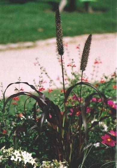 Poaceae (graminées) - Cyperaceae (bambous) 9965340.338d137d.560