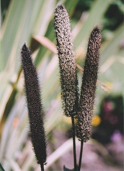 Poaceae (graminées) - Cyperaceae (bambous) 9965344.45599803.560