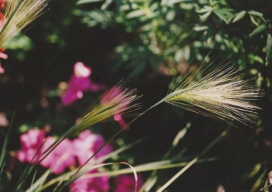 Poaceae (graminées) - Cyperaceae (bambous) 9965359.a718d2c6.560