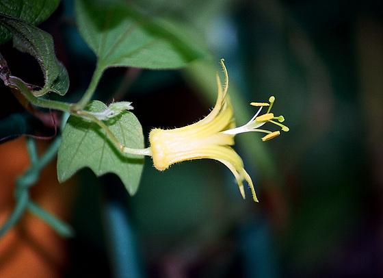 passiflores : nos floraisons [verrouillé] 9645757.b874c0d9.560