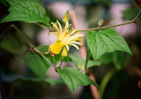 passiflores : nos floraisons [verrouillé] 9645766.7a2f427e.560