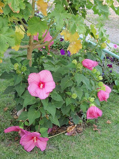 Hibiscus moscheutos 9905866.8b1c523e.560