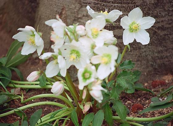 Quelques plantes d'ombre ou mi-ombre 9855981.66f202ee.560