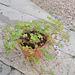 Geranium : espèces et variétés 9847055.4f5c671b.75x