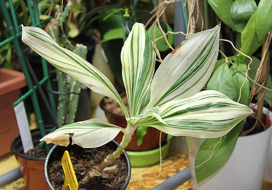 Tradescantia zanonia (= Campelia zanonia) 10027438.7e178c0d.560