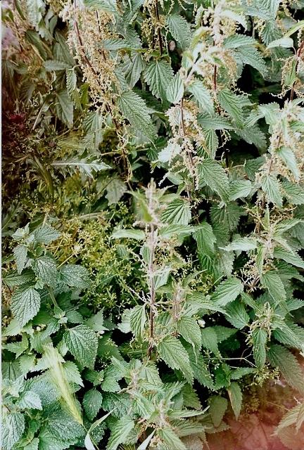rudérales - plantes des décombres et friches enrichies en nitrate 9847549.f34a5cd1